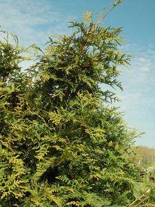 Arborvitae Green Giant 2cs